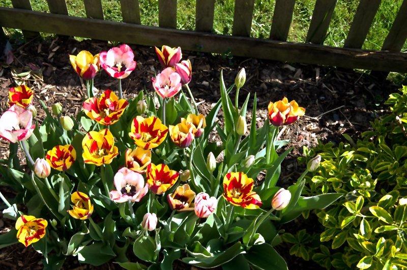 Tulpen am Gartenzaun.jpg